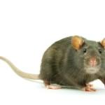 Mimpi Membunuh Tikus