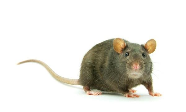 mimpi bunuh tikus