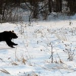 Mimpi Dikejar Beruang