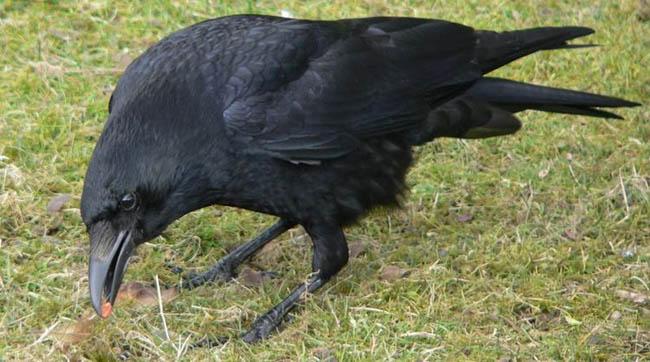 mimpi burung gagak