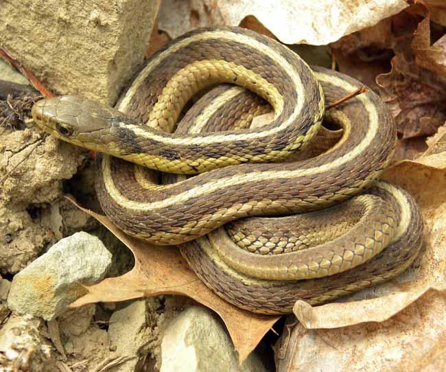 mimpi terpijak ular