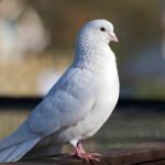 Mimpi Burung Putih