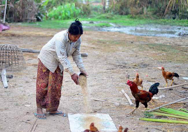 mimpi beri makan ayam