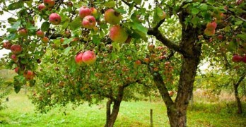 mimpi buah apple